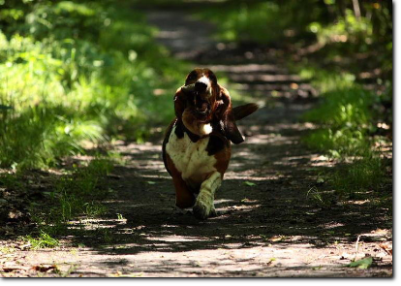 basset hound run
